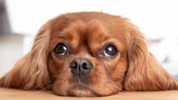 COVID-19 y animales de compañía. La Asociación Mundial de Médicos Veterinarios de Pequeños Animales organiza un seminario online para aportar información a día de hoy
